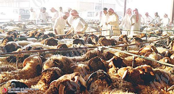 Kuwait - Market witnesses remarkable stability in price of sheep