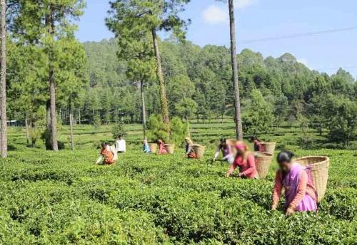 India- Commerce Ministry to address problems of the tea industry
