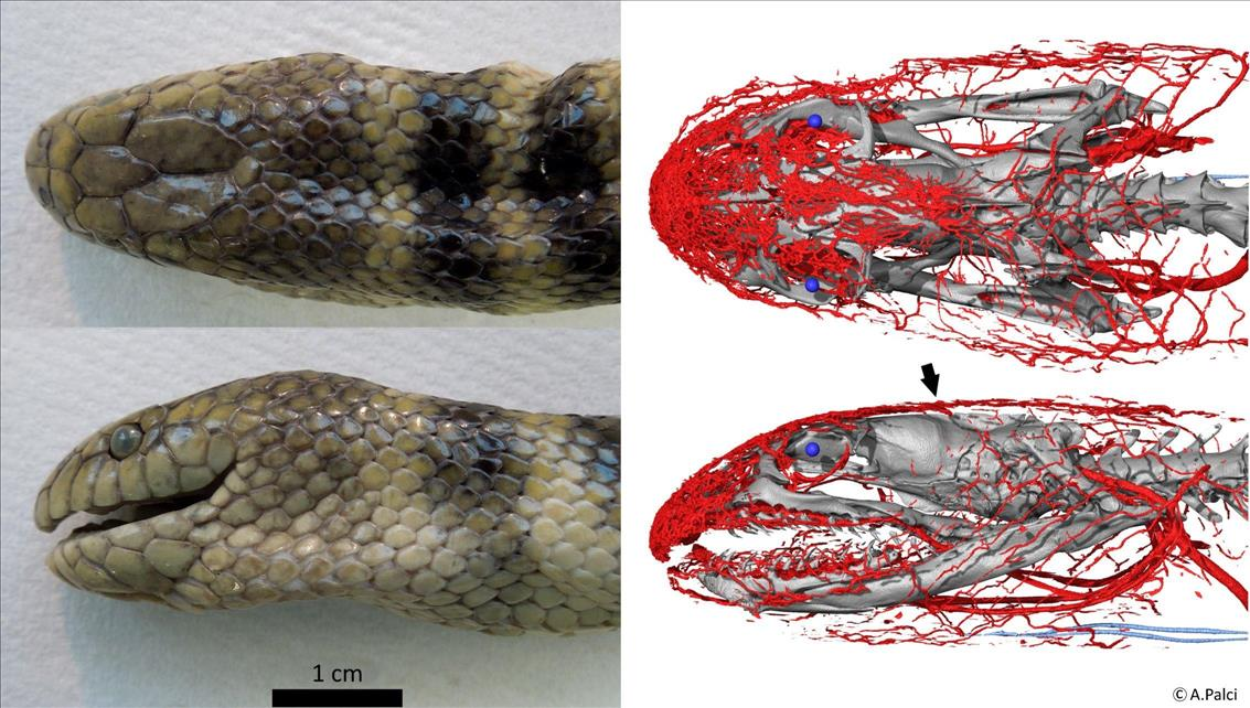 Deep breath: this sea snake gathers oxygen through its