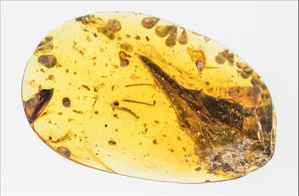 Hummingbird-sized dinosaur found preserved in amber