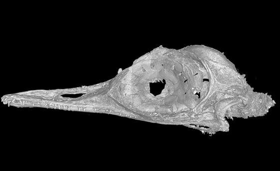 Skull of smallest-known bird embedded in 99-million-year-old amber