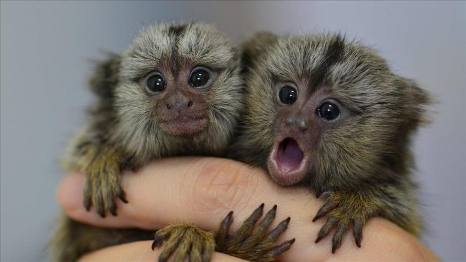 Marmosets analyse 'chats' to find useful partners - MENAFN.COM