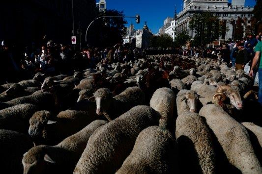 Sheep replace cars as they cross Madrid en route to winter p...